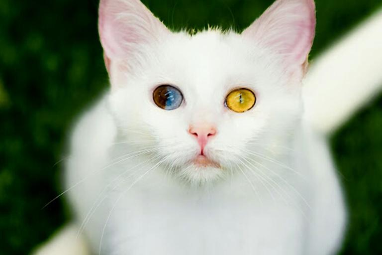 گربه های شهر وان | مهاجر سیر ایرانیان