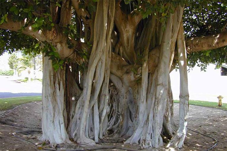 جاذبه های گردشگری جزیره قشم| درخت انجیر معابد قشم | مهاجر سیر ایرانیان